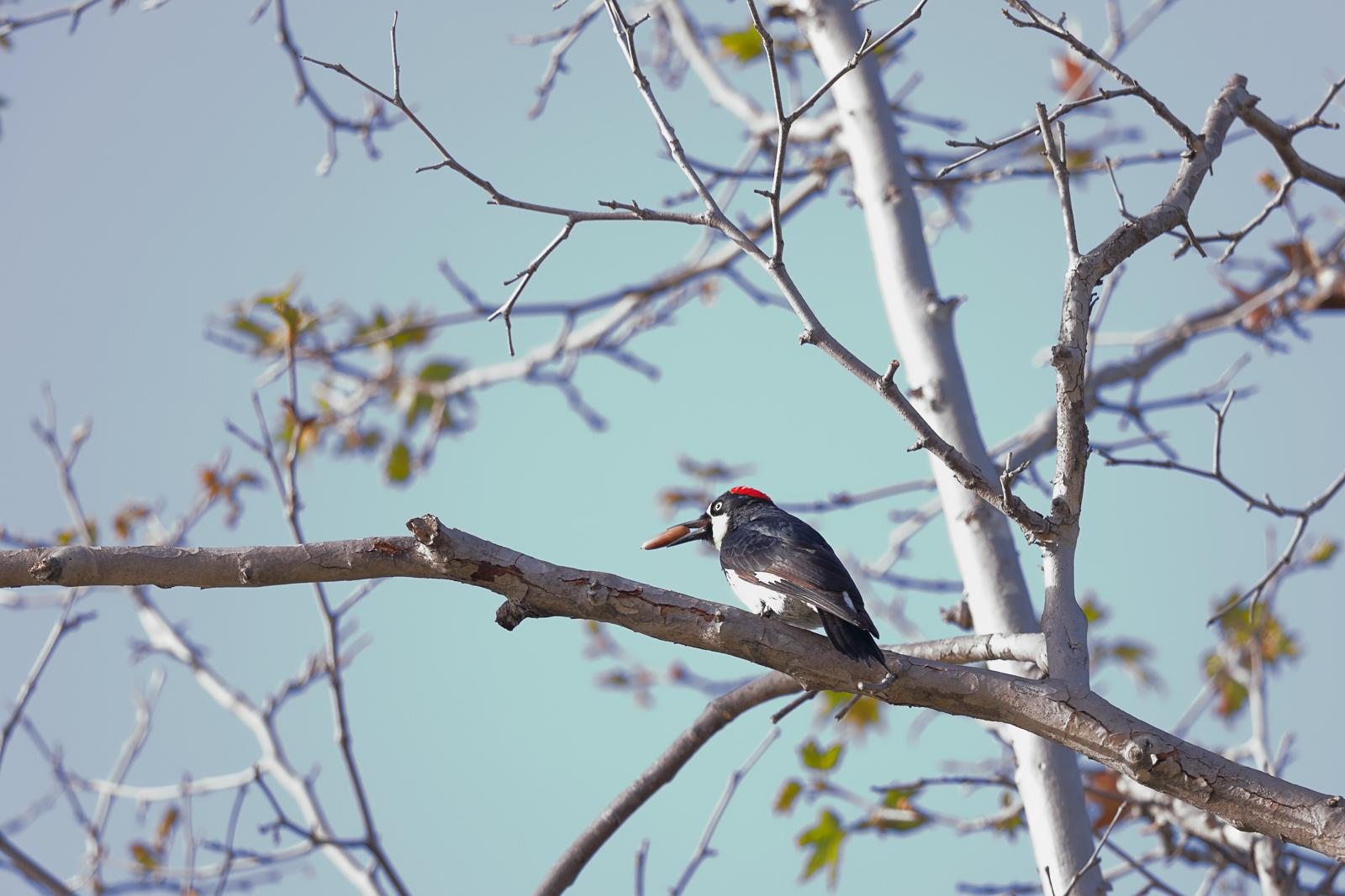 20180326-Acorn Woodpecker Santee Lakes dpp.jpg