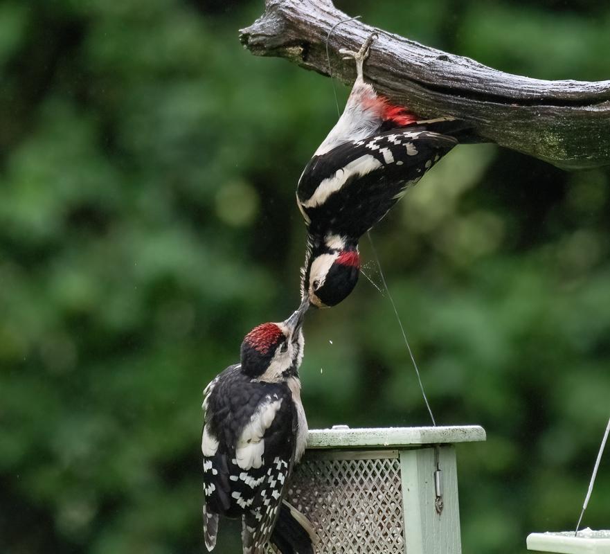 acrobaticwoodpeckers_01-0619-IMG_00001.jpg