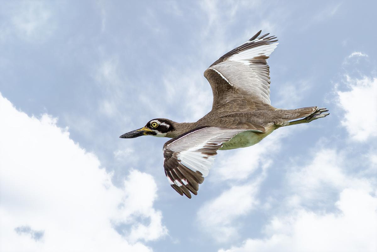 Beach Stone Curlew in Flight.jpg