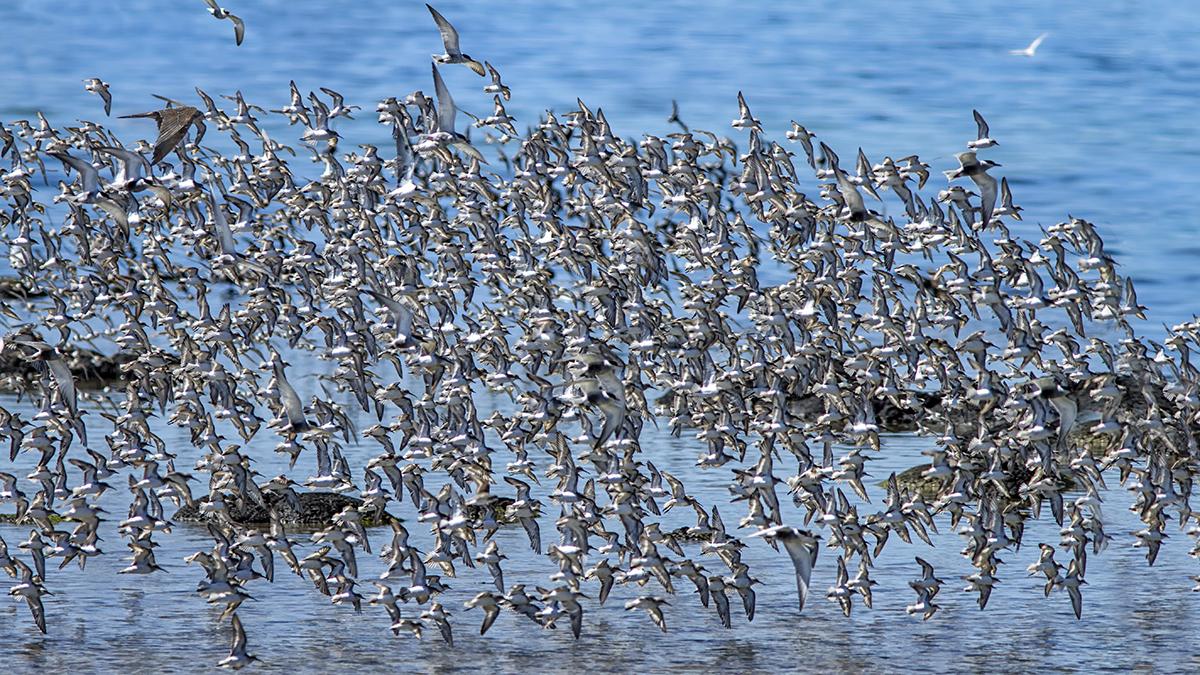 Black Falcon Mayhem on Wader Flock.jpg