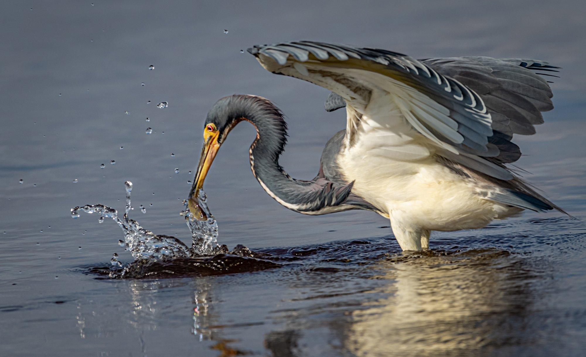 Blue Heron with fish myakka-1.JPG
