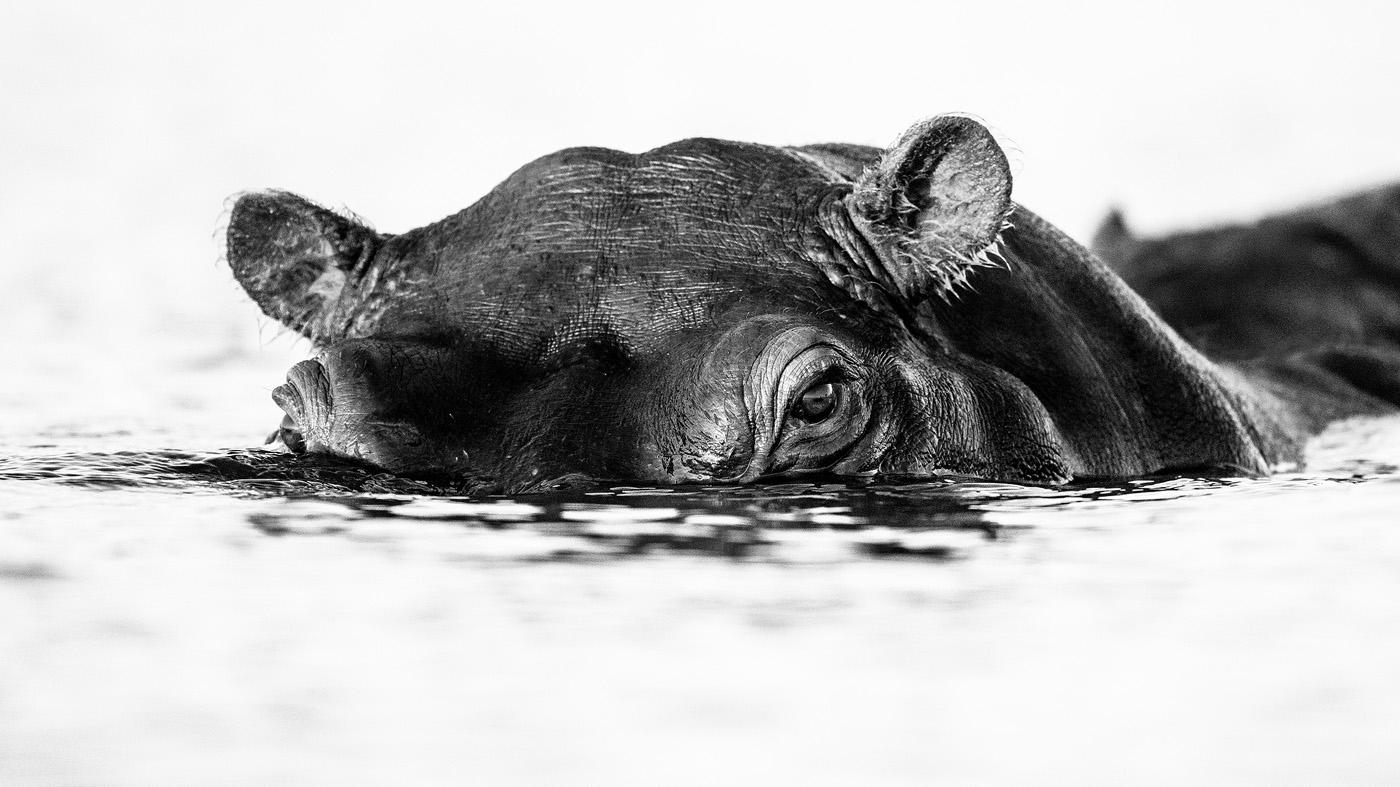BW-Lurking-Hippo.jpg