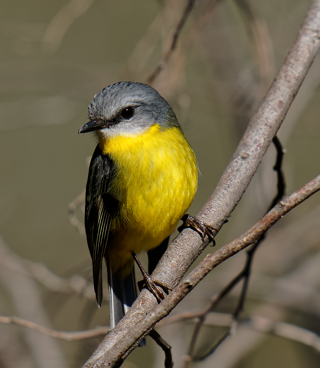 Eastern Yellow Robin (4) 1195.jpg