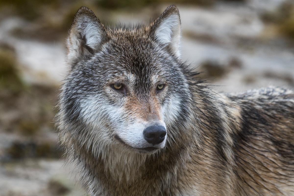 Katmai grey wolf-0923-IMG_00001.jpg