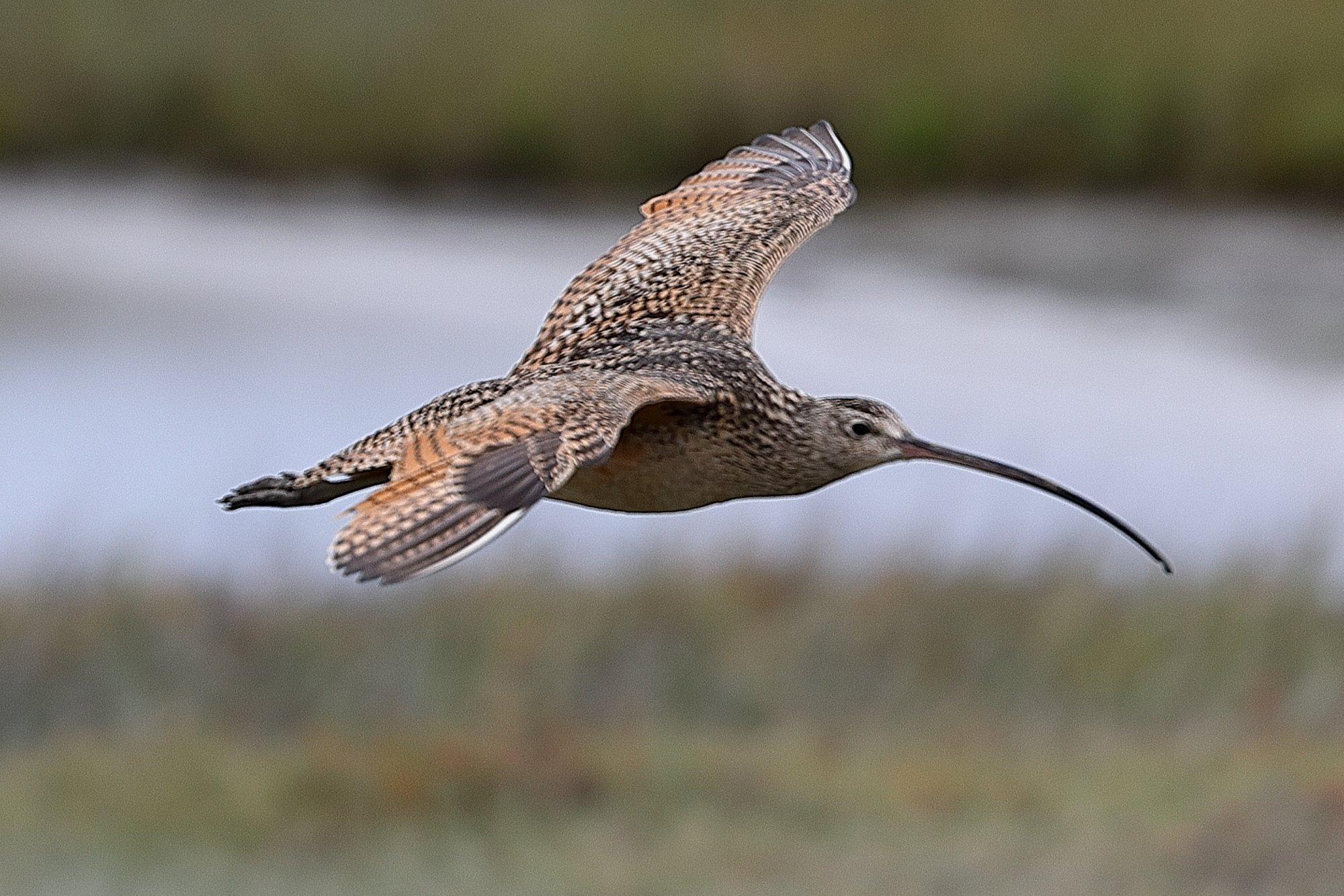 Long-Billed Curlew In Flight.JPG