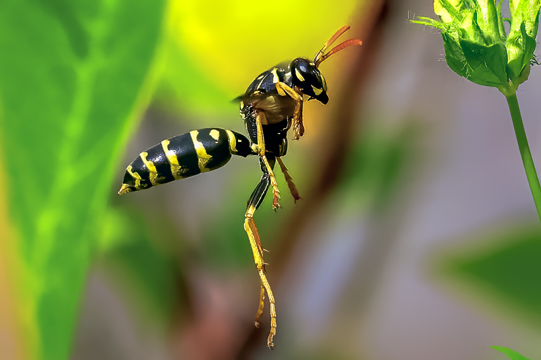 Mason Wasp On The wing Our Yard 7-28-2021.jpg