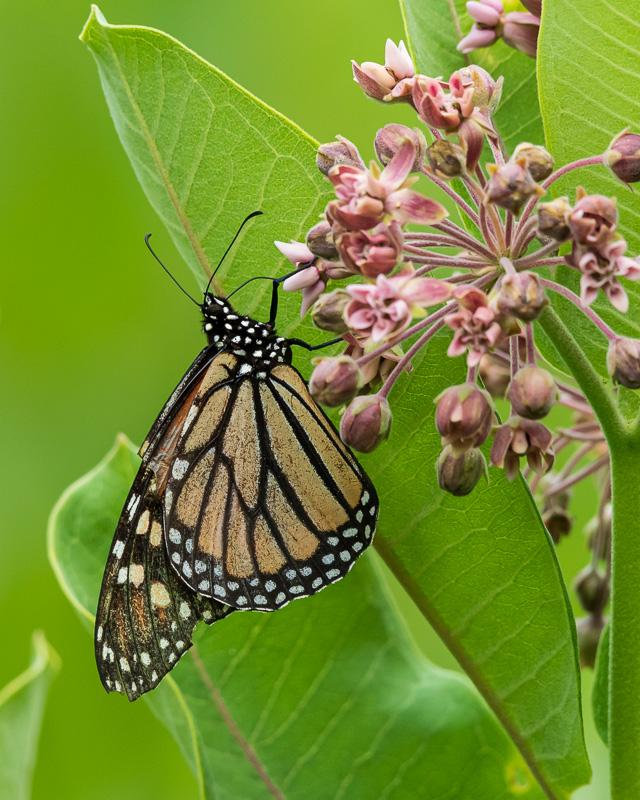 monarch2-1.jpg