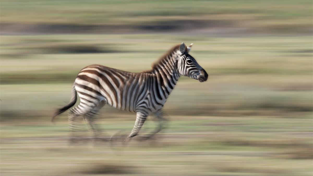panning-zebra-1.jpg