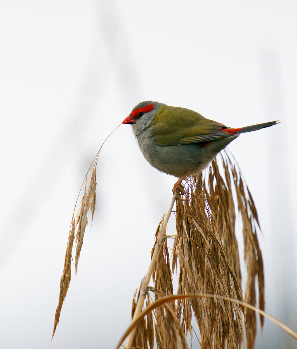 Red-browed Finch and straw (2) 1195.jpg