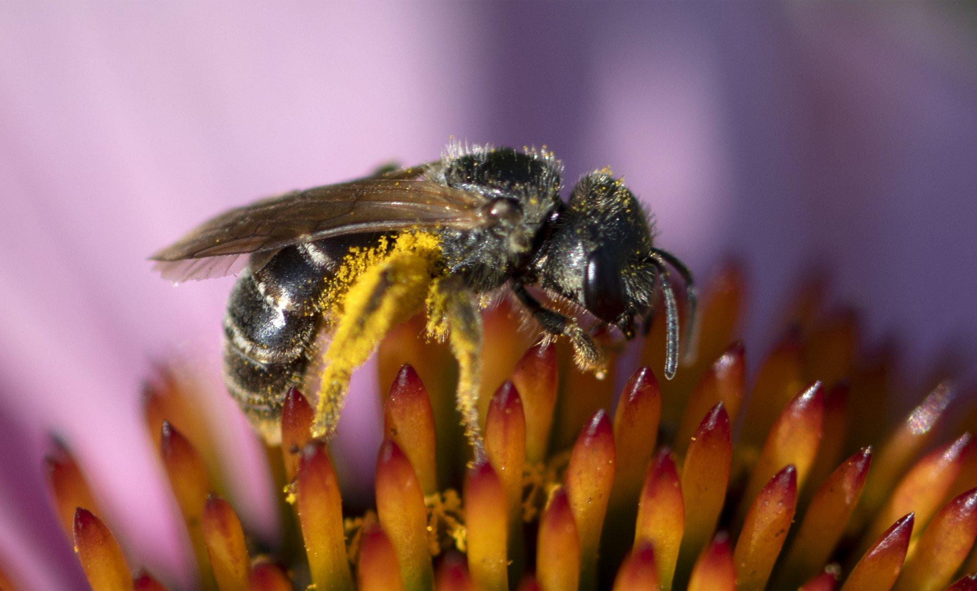 S-2021Z-3033-Furrow-Bee.jpg