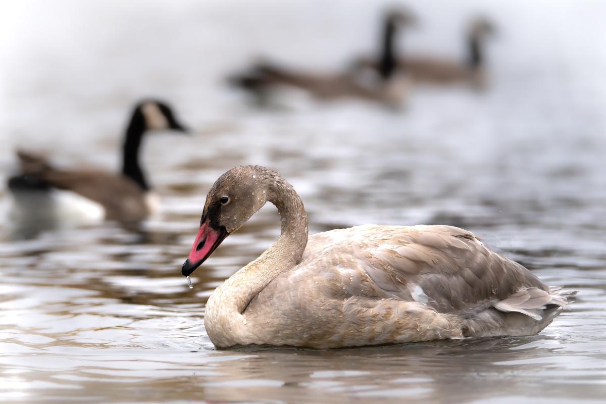 tundra swan sized_.jpg