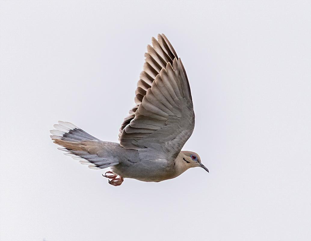 White-wing Dove DSC00512-denoise-denoise.jpg